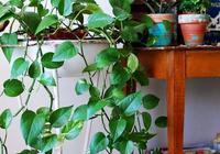 綠蘿的葉子不斷髮黃要用什麼方法來改善?