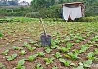 農村人為什麼喜歡用糞水去澆菜?卻被院士質疑這蔬菜能吃嗎?你怎麼看?