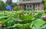鄭州:盛夏六月紫荊山公園荷花盛開 當前是最佳觀賞期