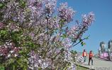 五一節日,冰城變花城,丁香、桃花、杏花迎風綻放,你去賞花了嗎