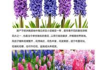 北京花訊:風信子
