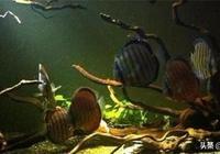 廣大的亞馬遜河是七彩神仙魚的天然棲息地