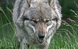 狼:歐亞狼,又名普通狼,中國狼,歐洲狼,草原狼,狼的一個亞種