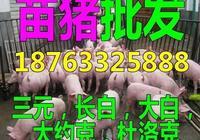 中國小豬網仔豬批發價格趨勢