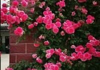 藤本月季做好這3點,一年爬滿牆,花開爆滿,鄰居好羨慕!