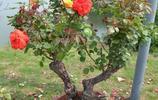 山木香老根月季走紅,一盆價值成百上千,挖農因此月收數萬