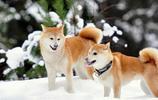 日本秋田犬
