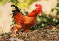 十二生肖有哪些是家禽?