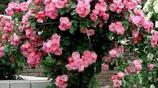 最適合庭院和陽臺種植的爬藤花卉,很好的營造一個浪漫氛圍