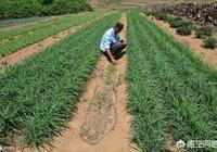 農民菜園裡的韭菜施什麼肥不生地蛆?應該什麼時間施肥? ?
