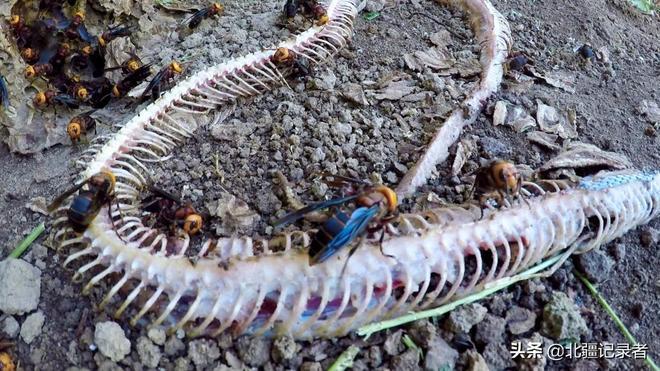 這種蜜蜂連眼鏡蛇都怕,雲南農村小夥靠它發家致富