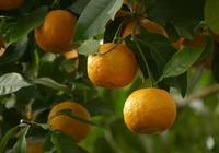 不是所有橘子皮都叫陳皮