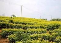 茶旅世界|有一款茶,叫黃金芽
