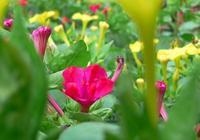 每日一花——胭脂花