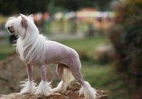 拿過無數比賽冠軍,狗中之王,中國冠毛犬!
