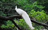 攝影:白孔雀
