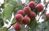 昌邑博陸山關爺臉杏熟了,橙紅清香甜美多汁,好吃極了