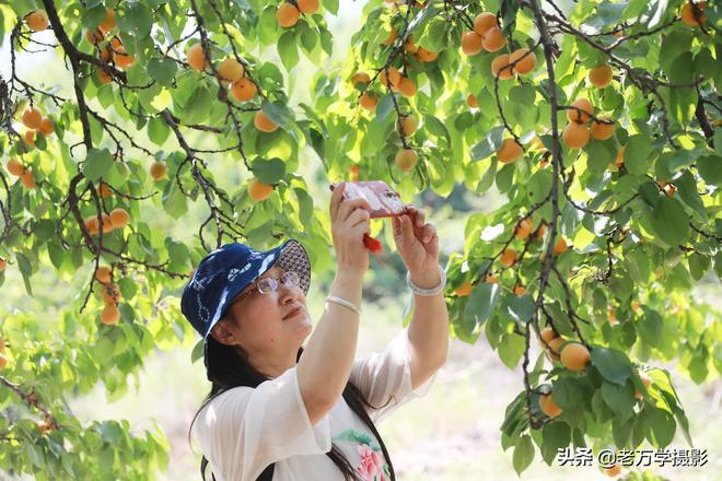 安徽淮北八千畝笆斗杏進入成熟期,吸引眾多遊客前來採摘遊玩