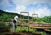 旅遊必備常識之雲南——普洱茶古茶樹