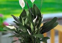 白掌生長季,做好幾點養護,新葉新花生長快,株型越來越美觀