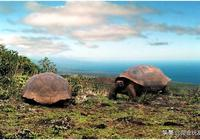 加拉帕戈斯陸龜保護計劃——平鬆島陸龜的困境和未來!