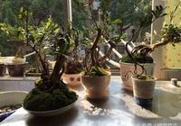 多圖分享用礦泉水瓶子控根做蚊母提根小盆景,方法簡單值得收藏