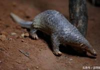 世界上揍死最多的哺乳動物——穿山甲