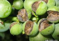 葡萄缺素圖譜 缺鈣、缺氮、缺磷、缺鉀、缺鎂、缺硼、缺鋅