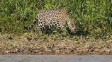 凶猛的美洲豹捕食鱷魚,拖著那麼大鱷魚還能游泳?