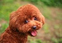 泰迪犬一天吃多少狗糧 餵食的次數與時間