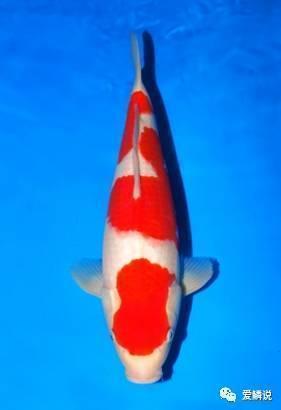紅白錦鯉,簡簡單單的美