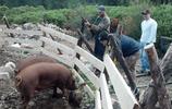實拍:國外農村殺豬全過程 看到圖五圖八 覺得他們好奢侈