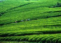 1200年的古茶樹無用礙事?茶樹枝被砍了薰臘肉?