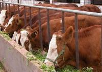 如何科學養牛?科學養牛技術