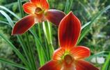 下山蘭花的色花很好,但經過家養後就不行了,這是咋回事呢?