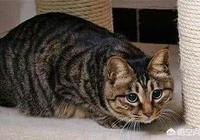 家養的狸花貓和流浪的狸花貓,誰的野性更大一點?為什麼?