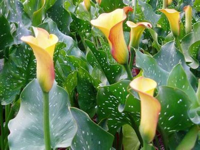 植物圖集:馬蹄蓮植物美圖