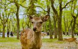 中國遊客最愛的日本公園:奈良小鹿萌萌噠,卻頻繁咬傷中國人
