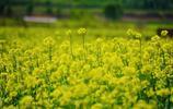 毗鄰頤和園,北京這家郊野公園油菜花開了,人少景美還免費