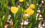 看見了桔黃色的鬱金香、粉白色的鬱金香、紅白色的鬱金香