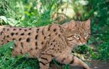 草原斑貓 很好玩