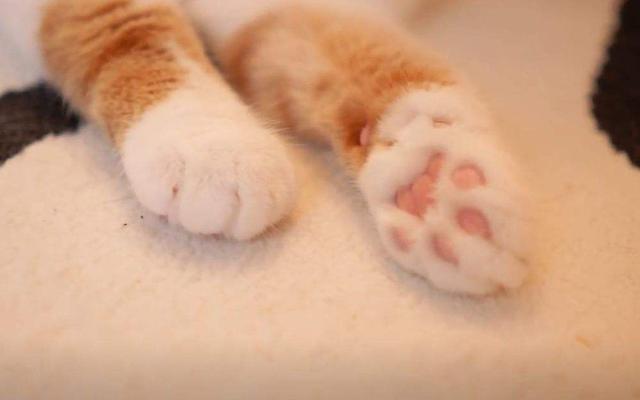 貓爪上肉墊原來有這麼多作用,漲姿勢了!