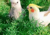 世界上最漂亮的5種鳳頭鸚鵡,玄鳳鸚鵡第5名,第1名沒人能想到
