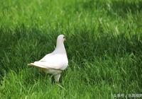 攝影小品:廣場鴿