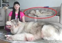 女主人養如此巨型大狗,很多眼尖的網友都誤會了
