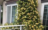 能夠爬藤做花牆又能盆栽作盆景的花卉,四季開花凌冬不凋