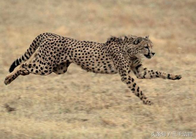 大自然最厲害的田徑運動員