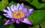 花卉圖集:睡蓮