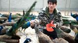 安徽農村哥養殖不走尋常道,300只孔雀幫他打開致富之門