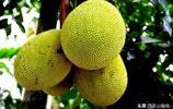 大家都知道海南盛產水果,海南特有的水果有哪些,你知道嗎